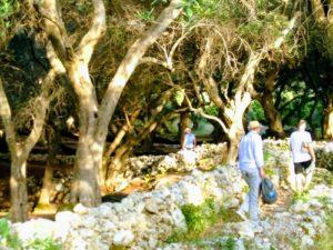 Unterwegs in alten Olivenhainen